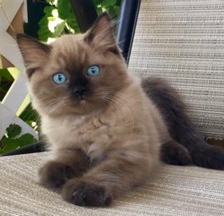 Ragdoll cat san diego